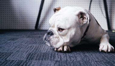 bulldog on a carpet